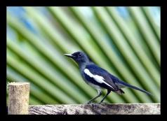 Oriental-Magpie Robin