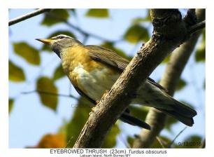 Birds of Labuan (Migratory & Resident)-3.tif